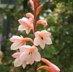 artificial watsonia flowers