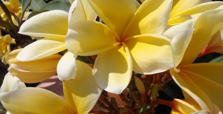 Hawaii Yellow Frangipani flower